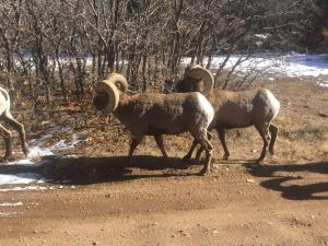 Bighorn Sheep & Domestic Livestock